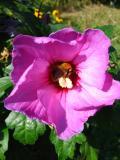 hibiskus, galeria roślin zdjęcia roślin