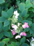 krzewy ogrodowe, krzewy łatwe w uprawie, krzewy liściaste, hortensja bukietowa