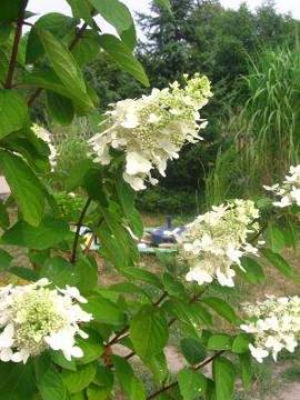 hortensja bukietowa, uprawa hortensji bukietowej, kwitnąca hortensja, rośliny letnie, krzewy