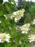 krzewy Liściaste ,hortensja bukietowa