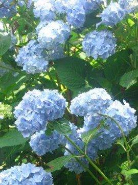 hortensja ogrodowa, uprawa hortensji ogrodowej, kwitnąca hortensja, rośliny letnie, krzewy