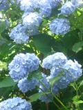 krzewy ogrodowe, krzewy ozdobne, krzewy trudniejsze w uprawie, krzwy liściaste, hortensja ogrodowa