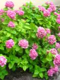 krzewy Liściaste ,hortensja ogrodowa