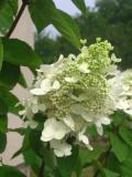 krzewy liściaste, hortensja bukietowa