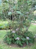 Ogrodnik-amator, opis rośliny, Hortensja kosmata, Hydrangea aspera, hortensji kosmatej, pielęgnacja, hortensja ozdobna,  krzewy ozdobne, krzewy o fioletowych kwiatach,  rośliny kwitnące, rośliny wymagające