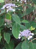krzewy ogrodowe, ozdobne hortensja kosmata