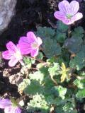 Ogrody,  rośliny okrywowe i zadarniające , iglica zmienna