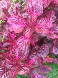 rośliny doniczkowe , irezyna