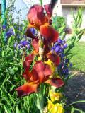 kwiaty ogrodowe, kwiaty łatwe w uprawie, kwiaty wieloletnie, irysy bródkowe, kosaćce