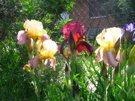rośliny cebulowe i bulwiaste, kwiaty cebulki, bulwy