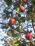 drzewa owocowe jabłoń domowa