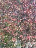 jabłoń purpurowa, zdjęcia roślin
