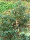 jałowiec płożący, zdjęcia roślin