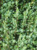 Ogrodnik-amator, opis rośliny, Jałowiec pospolity, Juniperus communis ang. Common Juniper, uprawa jałowca pospolitego, opis rośliny, krzewy i drzewa łatwe w uprawie, krzewy iglaste, iglaki