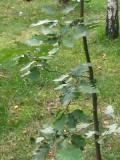 jarząb szwedzki, zdjęcia roślin
