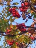 drzewa liściaste jarząb pospolity, jarzębina
