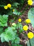 askier ostry Multiplex , zdjęcia rośliny