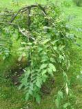 drzewa ogrodowe, drzewa trudniejsze w uprawie, drzewa liściaste, jesion wyniosły