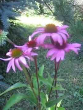 Ogrodnik-amator, opis rośliny, Jeżówka purpurowa,  Echinacea purpurea, Eastern purple coneflower, uprawa jeżówki purpurowej, kwiaty wieloletnie, byliny, kwiaty na miejsca słoneczne, wysokie byliny, rośliny o dużych kwiatostanach, kwiaty ogrodowe, kwiaty na miejsca żyzne, kwiaty lata