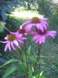 jeżówka purpurowa, zdjęcia rośliny
