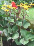 języczka pomarańczowa, zdjęcia rośliny