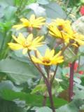 kwiaty języczka pomarańczowa