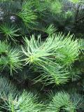 jodła kalifornijska, zdjęcia roślin