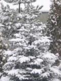 Ogrodnik-amator, opis rośliny, Jodła koreańska, Abies koreana, Korean fir, uprawa jodły koreańskiej, drzewa iglaste, drzewa łatwe w uprawie, drzewa trudniejsze w uprawie, galeria drzew