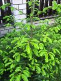 jodła pospolita, zdjęcia roślin
