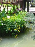 Ogrodnik-amator, opis rośliny, Kaczeniec, knieć błotna, Caltha palustris, kaczeńce, uprawa kaczeńców, pielęgnacja knieci błotnej,  kwiaty wieloletnie, byliny, kwiaty na miejsca wilgotne, rośliny o ozdobnych liściach, kwiaty ogrodowe, kwiaty na nad wodę