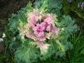 Ogrodnik-amator, opis rośliny, Kapusta ozdobna, Brassica oleracea, uprawa kapusty ozdobnej