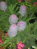 rośliny doniczkowe , kapusta ozdobna