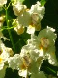 Ogrodnik-amator, opis rośliny, Katalpa, Surmia,  Catalpa bignonioides, Indian bean tree, uprawa katalpy, uprawa surmii, opis rośliny, drzewa trudne w uprawie, drzewa lisciaste, drzewa ozdobne, drzewa kwitnące latem, galeria drzew, rośliny na lato
