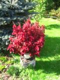 Ogrodnik-amator, opis rośliny, Koleus Blumego, pokrzywka brazylijska, Coleus hybridus, Coleus, painted nettle, uprawa koleusów, pielęgnacja pokrzywki brazylijskiej, kwiaty na balkony i tarasy