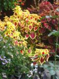 rośliny doniczkowe , koleus