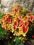 koleus, pokrzywka brazylijska, zdjęcia roślin ogrodowych