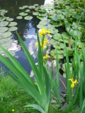 Ogrody, zdjęcia irysow żółtych, kosaciec żółty w ogrodzie