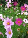 kwiaty ogrodowe, kwiaty łatwe w uprawie, kwiaty jednoroczne, kosmoosonętek, kosmosy onętki