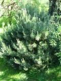 krzewy ogrodowe, krzewy łatwe w uprawie, krzewy iglaste, kosodrzewina