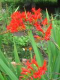 Ogrody, zdjęcia krokosmii, montbercji, krokosmia w ogrodzie