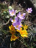 krokus, fotografie roślin