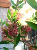 egzotyczne rośliny balkonowe ,kuflik