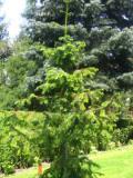 drzewa ogrodowe iglaki, kuningamia chińska