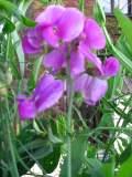 lędźwian szerokolistny, zdjęcia roślin