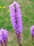 Ogrodnik-amator, opis rośliny, Liatra kłosowa łac. Liatris spicata ang. Gayfeather, uprawa liatry kłosowej, opis rośliny, Kwiaty wieloletnie, byliny, rośliny o bulwiastych korzeniach, kwiaty ogrodowe,  kwiaty lata, Kwiatostany złożone z koszyczków, zebrane są w gęste kłosy, barwa kwiatów  lilioworóżowa