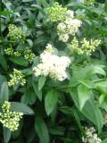 ligustr, zdjęcia roślin