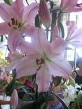 lilie, uprawa lili