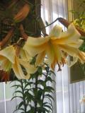 lilia mieszaniec trąbkowy