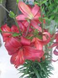 lilia mieszaniec azjatycki