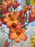 Ogrody, zdjęcia lilii, uprawa lilii, lilie w ogrodzie